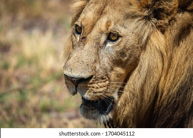 Face of a battle scarred male lion.