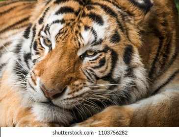 Face of Bengal Tiger