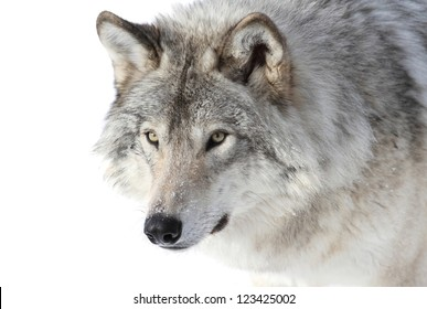 face of big gray wolf
