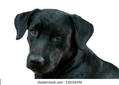 face of black labrador retriever isolated on white