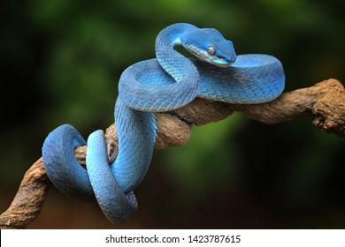 Blue Viper Images, Stock Photos & Vectors | Shutterstock