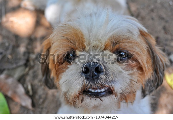 Face Brown White Shih Tzu Looking Stock Photo Edit Now 1374344219