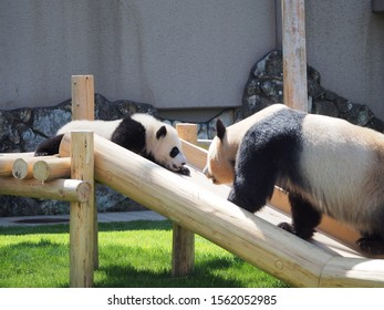 face to face by parent and child of panda on woody  slide