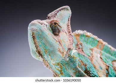 face of chameleon