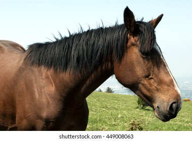 Face of a chestnut horse with black mane and white stripe on the face on the field