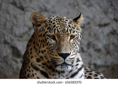 Face to face close up portrait of Amur leopard (Panthera pardus orientalis) looking at camera over rocks, low angle view