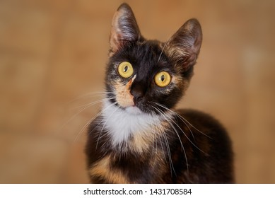 face of a curious young tortoiseshell cat with big yellow eyes sitting on the floor and looking up into camera