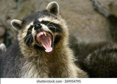 Face of Cute Raccoon open mouth action