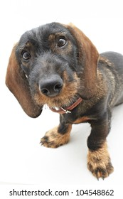 Face of Dachshund cross dog