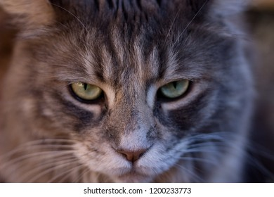 face detail of maine coon cat