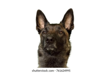 face of dog Belgian Shepherd Malinois with attentive look on white background