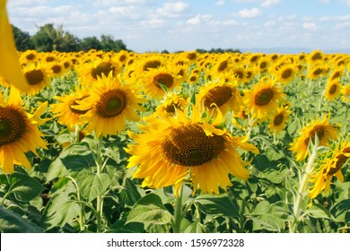 Face down blooming big sunflowers