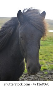 Face of an elegant Icelandic horse in Iceland