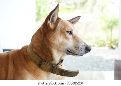 face of golden brown adorable dog
