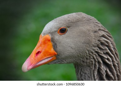 Face of goose