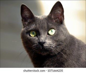 Face of a gray cat