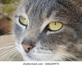 Face of gray cat with white, light green eyes and pink nose.