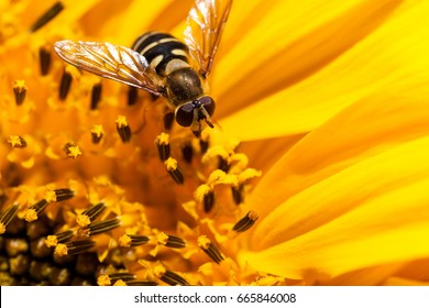 The face of a hover fly resting on the small blooms of the inside of a sunflower.