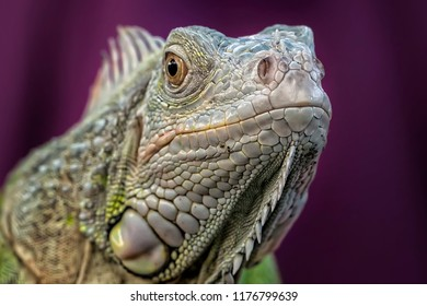 The Face of Iguana - Reptile Macro Photo Collection