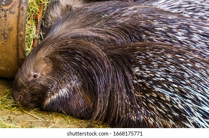 the face of a indian crested porcupine in closeup, popular tropical animal specie from Asia
