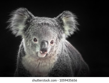 The face of a koala on a black background.