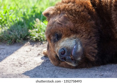 The face of a large brown bear sleeping on the edge of a dirt road in the sunshine in spring.