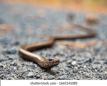 Face of a legless lizard. Anguis fragilis, the slowworm, is a legless lizard native to Eurasia. Similar to a snake.
