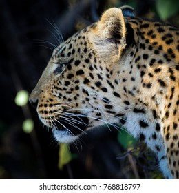 Face of leopard mother searching for her cub, Okavango Delta, Botswana, Africa