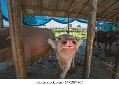 face of a little albino buffalo in the livestock