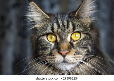 Face of maine coon cat