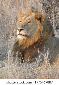 The face of a male lion observing the surise on a chilly winter morning with yellow grass in the background.