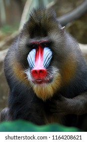 Face of mandrill monkey, animal closeup