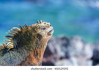 Face of a Marine Iguana relaxing in the sun with a blue background on Fernandina Island in the Galapagos Islands in Ecuador