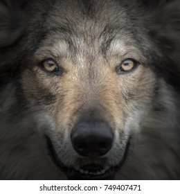 Face to face meeting with strong grey wolf staring head Canis lupus. Close up portrait of wolf head with gazing eyes. Creative detail photography scene of fairy tail animal with secret life in pack.