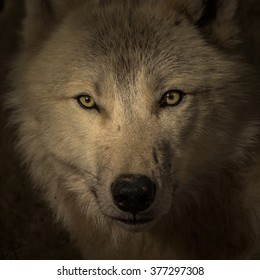 Face to face meeting with strong wolf. Wolf head watching very closely on the dark background.