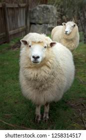 face of merino sheep in new zealand rural farm