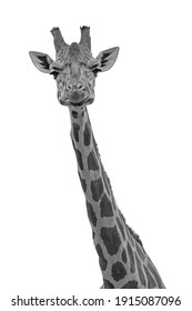 Face and neck of a Giraffe in black and white