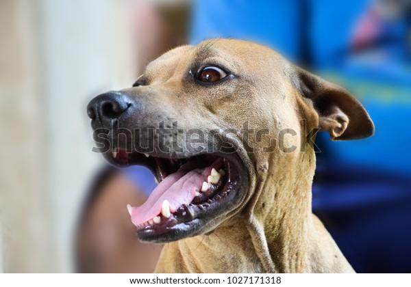 The face off Thai Ridgeback have Tongue dog and teeth dog.