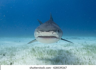 Face on view of a Tiger shark swimming in shallow water during a shark dive in the Bahamas.