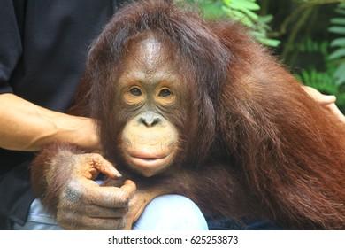 face of orangutan