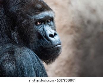 The face of an Orangutan. Bornean Orangutan (orang-utan, Pongo pygmaeus) portrait.