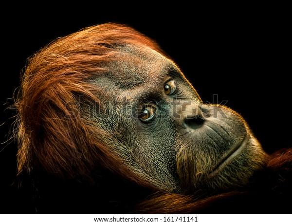The face of an Orangutan on a Black Background