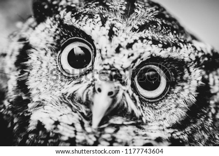 Face Owl Black White Macro Photography Stock Photo Edit Now