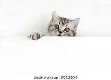 Face and paw of little Scottish Straight kitten peeks out curiously from behind a white background with copy space. Cute baby pet cat with fur colored in black marble on silver looking nto the camera.