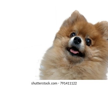 Face Pomeranian brown dog waiting snack on white background.