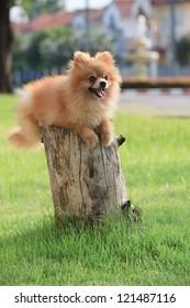 face of pomeranian dog in home garden