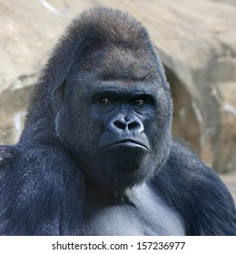 Face portrait of a gorilla male, severe silverback, on rock background. Menacing side look of the great ape, the most dangerous and biggest monkey of the world. The chief of a gorilla family.