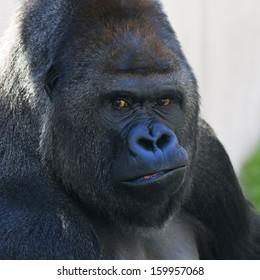 Face portrait of a gorilla male, severe silverback. Menacing expression of the great ape, the most dangerous and biggest monkey of the world. The chief of gorilla family.