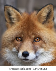 Face portrait of red fox male, vulpes vulpes. The head a beautiful forest wild beast. Smart look of a dodgy vulpes, skilled raptor and elegant animal. Cute and cuddly creature.