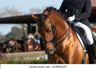 Face portrait of a shiny bay spanish horse in a dressage competition